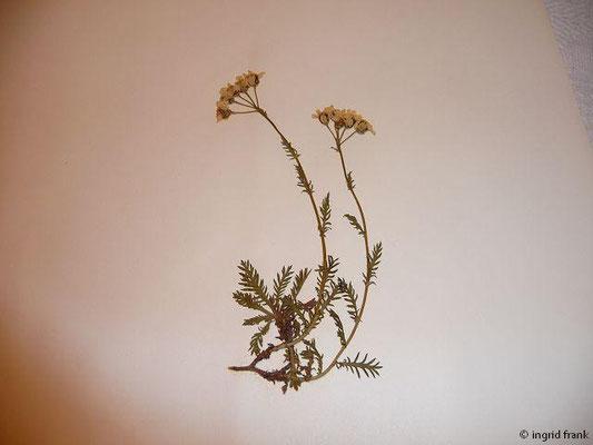 Achillea erba-rotta ssp. moschata - Moschus-Schafgarbe  (VI-VIII)