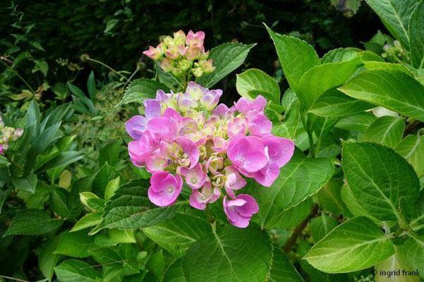 Hydrangea-Hortensie (im eigenen Garten)