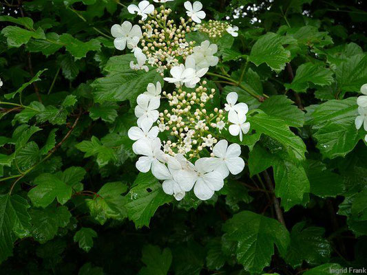Gewöhnlicher Schneeball / Viburnum opulus