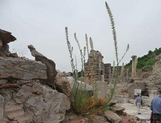Reseda alba - Weiße Resede (Ephesus)