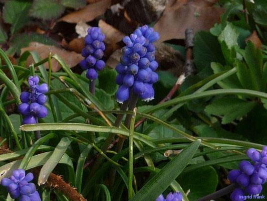 Muscari botryoides / Kleine Traubenhyazinthe