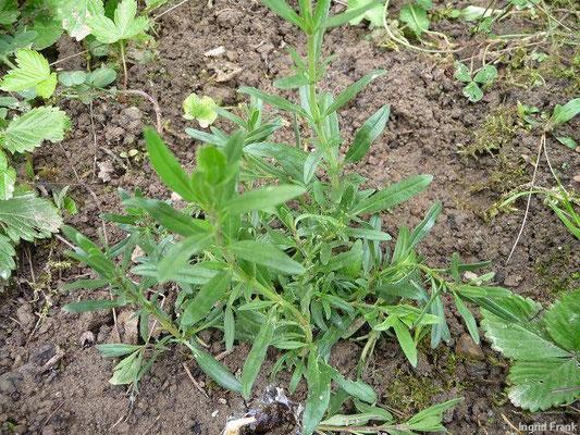 17.05.2010-Hyssopus officinalis - Echter Ysop