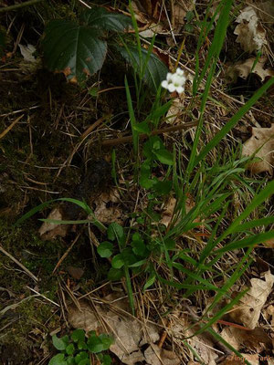 Arabidopsis halleri / Hallers Schaumkresse    IV-VI