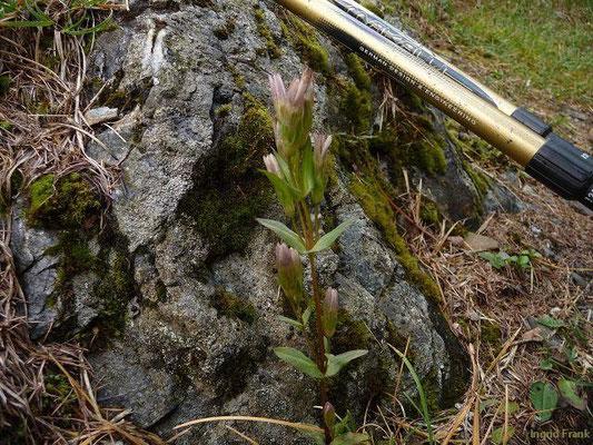 Gentianella lutescens - Karpaten-Kranzenzian