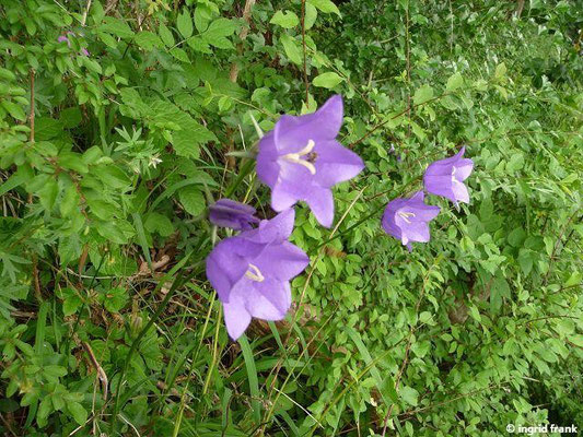 Campanula persicifolia - Pfirsichblättrige Glockenblume