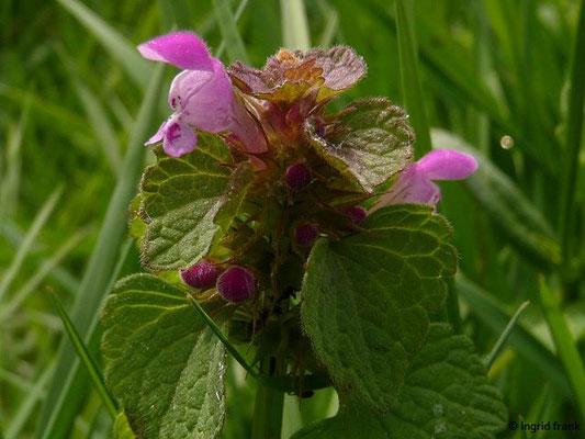 Lamium purpureum - Purpurrote Taubnessel    (III-X)