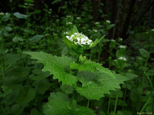 Alliaria petiolata / Knoblauchsrauke
