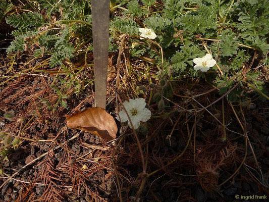 Erodium chrysanthum - Gelber Reiherschnabel