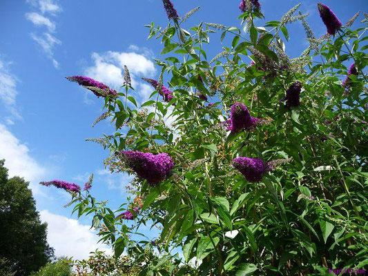 Buddleja davidii - Gewöhnlicher Sommerflieder, Schmetterlingsstrauch