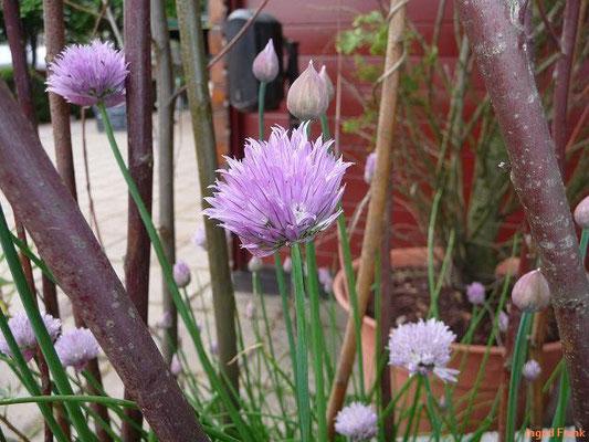 12.05.2011-Allium schoenoprasum - Schnittlauch