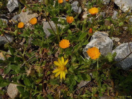 01.04.2013, Calendula arvensis - Acker-Ringelblume
