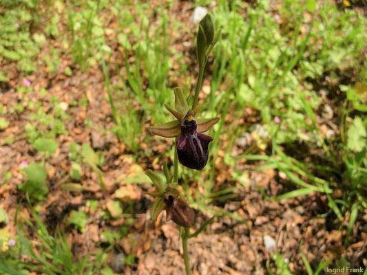 Ophrys spec. / Ragwurz-Arten