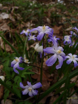 16.04.2013-Chionodoxa luciliae - Schneestolz
