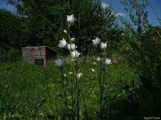 24.06.2010-Campanula persicifolia - Pfirsichblättrige Glockenblume