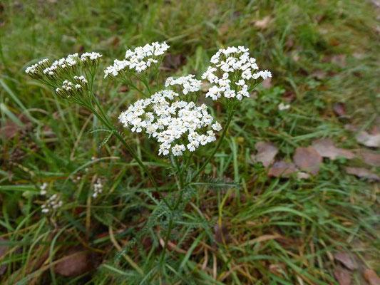 Achillea millefolium / Gewöhnliche Wiesen-Schafgarbe