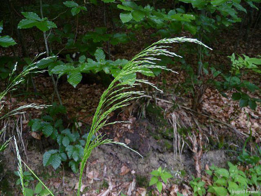 Deschampsia cespitosa - Rasen-Schmiele
