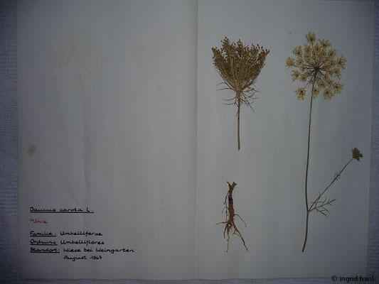 (64) Daucus carota - Möhre