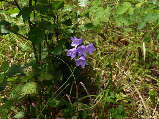 Campanula rotundifolia - Rundblättrige Glockenblume