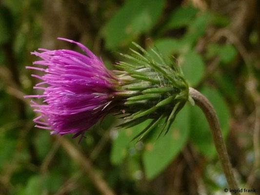 Carduus defloratus - Berg-Distel    VI-IX