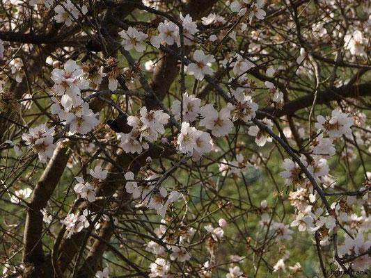 Prunus amygdalus amarus - Bitterer Mandelbaum