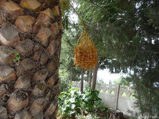 Phoenix dactylifera - Dattelpalme (Türkische Ägäis)