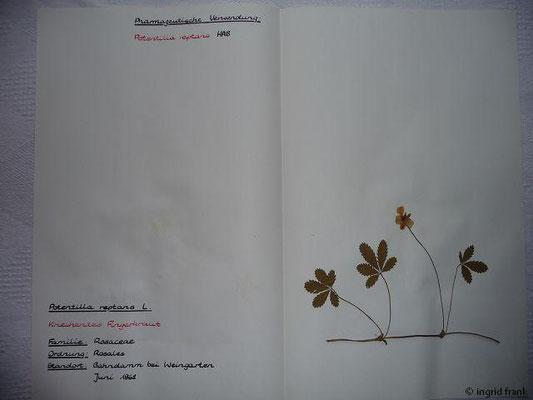 (23) Potentilla reptans - Kriechendes Fingerkraut