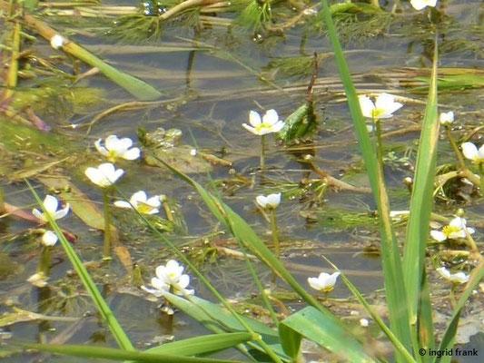 Ranunculus fluitans / Flutender Wasserhahnenfuß