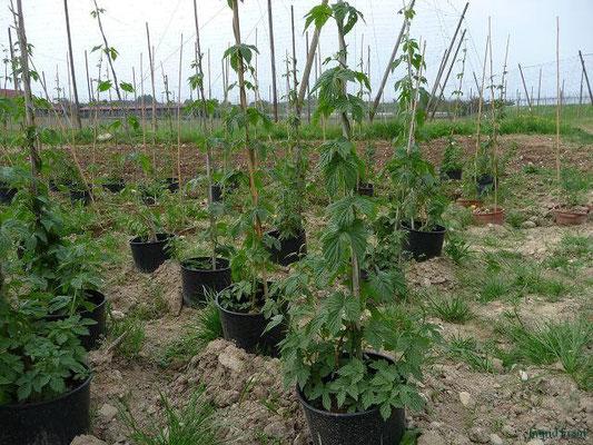 24.04.2012-Humulus lupulus - Hopfen