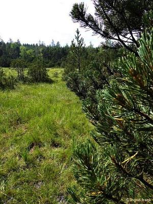 Pinus mugo - Berg-Kiefer