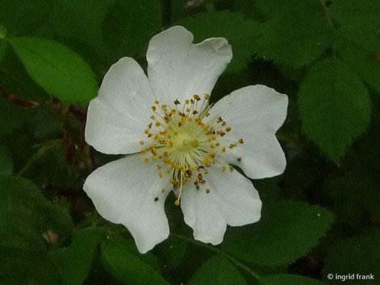 Rosa corymbifera aggr. / Artengruppe Busch-Rose, Hecken-Rose