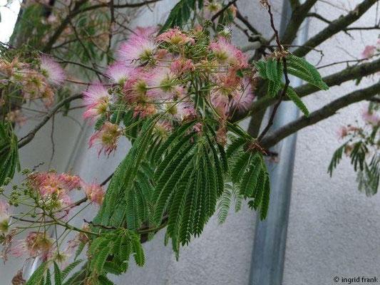 03.08.2012-Mimosa pudica - Schamhafte Sinnblume (Vorgarten in Friedrichshafen)
