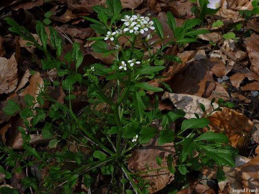 Cardamine flexuosa - Wald-Schaumkraut (IV)-VI
