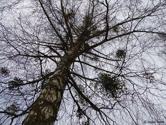 Betula pendula / Hänge-Birke, Gewöhnliche Birke