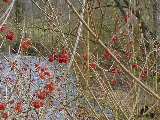 Viburnum opulus - Gewöhnlicher Schneeball (an der Wolfegger Ach bei Stöcklis)