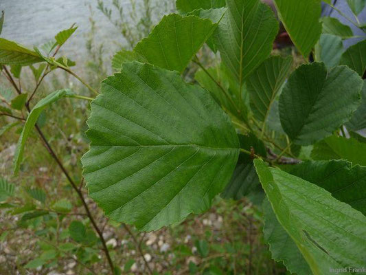 Alnus glutinosa - Schwarz-Erle