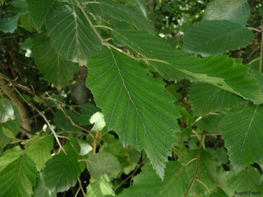 Alnus viridis - Grün-Erle  (IV-VI)