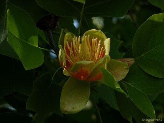 Liriodendron tulipifera - Tulpenbaum (Vorgarten im Bodenseekreis)