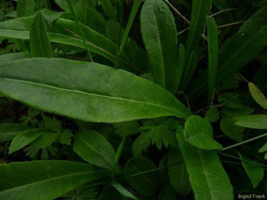 17.05.2010-Campanula persicifolia - Pfirsichblättrige Glockenblume