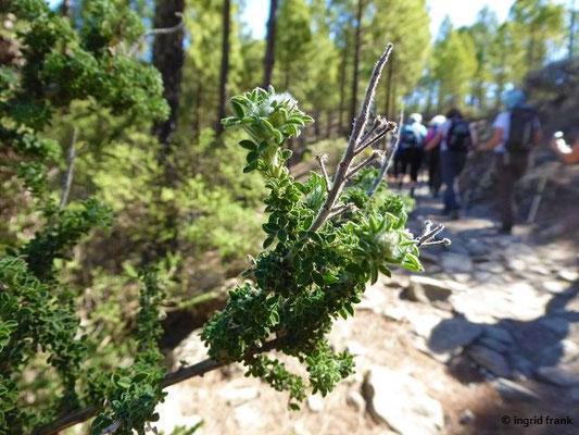 Adenocarpus foliolosus - Blättchenreiche Drüsenfrucht