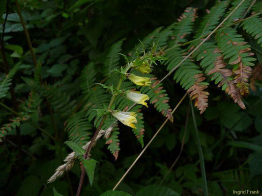 Melampyrum pratense / Wiesen-Wachtelweizen