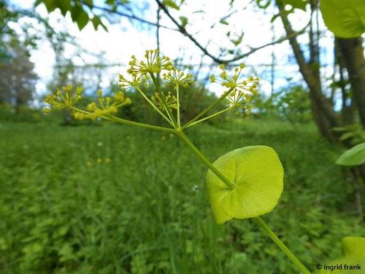 Smyrnium perfoliatum - Stängelumfassende Gelbdolde