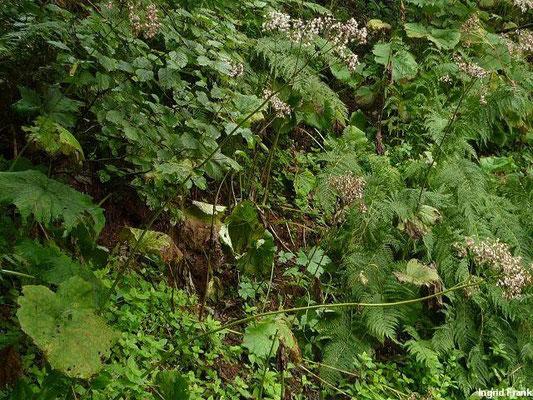 Adenostyles alliariae - Grauer Alpendost