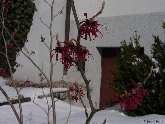 07.03.2010 -Hamamelis (Vorgarten in Gornhofen)