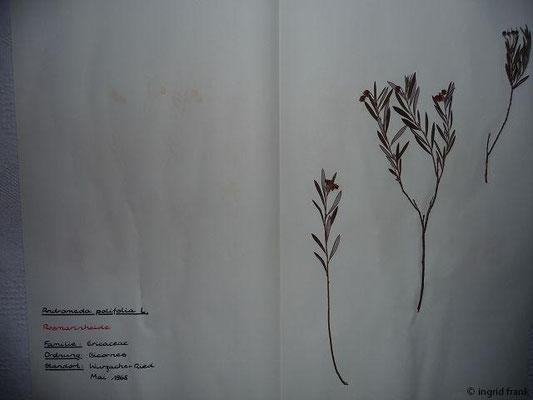 (77) Andromeda polifolia - Rosmarinheide