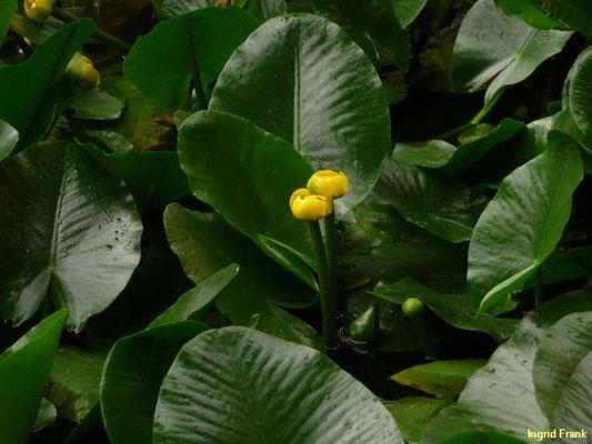 Nuphar spec. / Teichrose-Arten