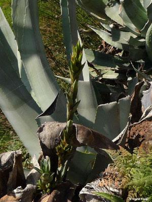 Agave americana - Amerikanische Agave (La Gomera)