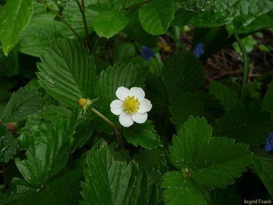 Fragaria vesca / Wald-Erdbeere    V-VI