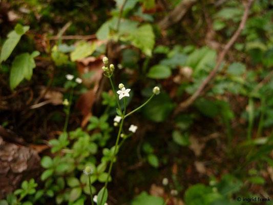 Galium rotundifolium - Rundblättriges Labkraut