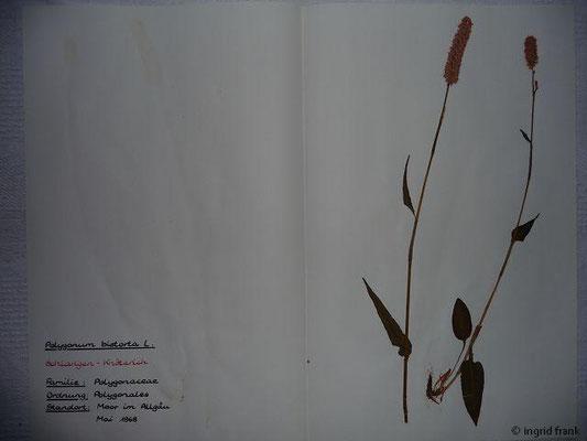 (69) Polygonum bistorta - Schlangen-Knöterich