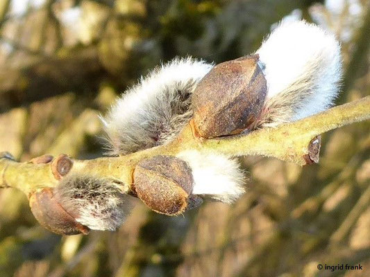 Salix caprea - Sal-Weide